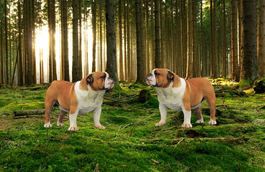 Bulldog Breeder South Africa