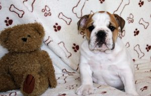 English Bulldog Puppies for sale Pretoria South Africa